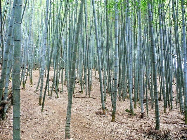 瑞太古道-整片的竹林.jpg